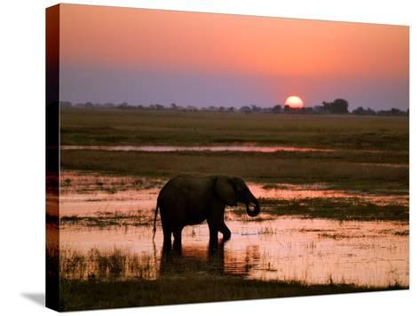 Elephant at Sunset on the Chobe River, Botswana-Nigel Pavitt-Stretched Canvas Print