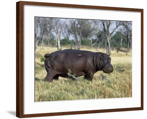 Hippo, with Red-Billed Oxpeckers (Tick Birds), Grazes, Okavango Swamp Edge, Moremi Wildlife Reserve-Nigel Pavitt-Framed Art Print