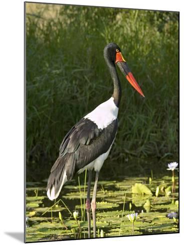 Female Saddle-Billed Stork, Kruger National Park-James Hager-Mounted Photographic Print