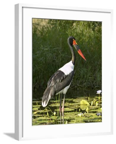 Female Saddle-Billed Stork, Kruger National Park-James Hager-Framed Art Print