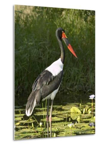 Female Saddle-Billed Stork, Kruger National Park-James Hager-Metal Print