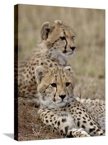 Two Cheetah Cubs, Masai Mara National Reserve, Kenya, East Africa, Africa-James Hager-Stretched Canvas Print