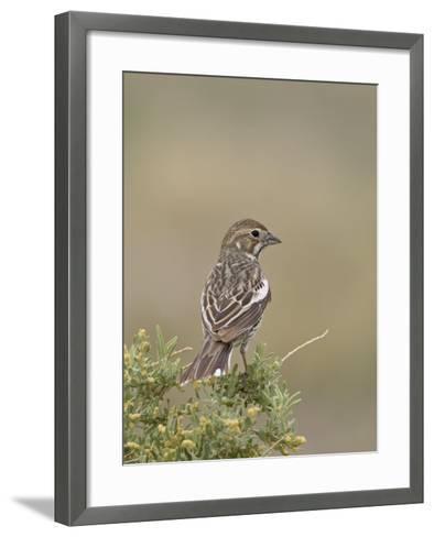 Female Lark Bunting, Pawnee National Grassland, Colorado-James Hager-Framed Art Print