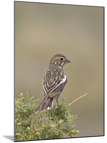 Female Lark Bunting, Pawnee National Grassland, Colorado-James Hager-Mounted Photographic Print