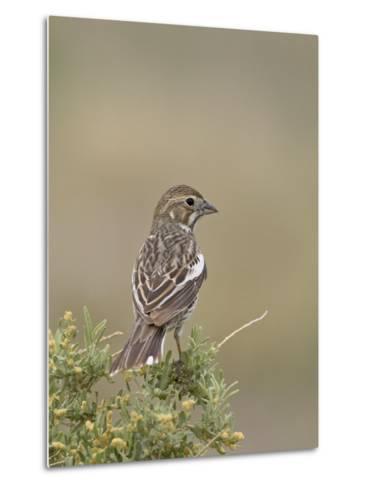 Female Lark Bunting, Pawnee National Grassland, Colorado-James Hager-Metal Print