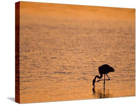 Greater Flamingo, at Dusk, Walvis Bay Lagoon, Namibia, Africa-Ann & Steve Toon-Stretched Canvas Print