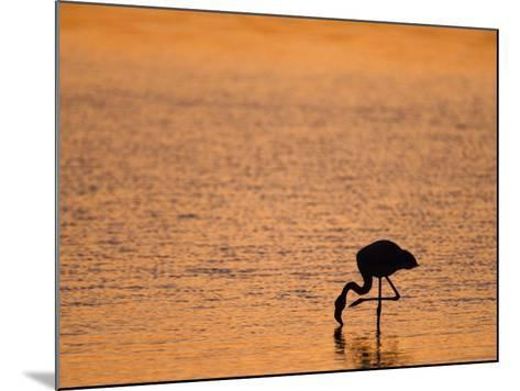 Greater Flamingo, at Dusk, Walvis Bay Lagoon, Namibia, Africa-Ann & Steve Toon-Mounted Photographic Print