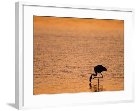 Greater Flamingo, at Dusk, Walvis Bay Lagoon, Namibia, Africa-Ann & Steve Toon-Framed Art Print