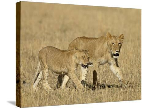 Lion Cubs, Masai Mara National Reserve, Kenya, East Africa, Africa-James Hager-Stretched Canvas Print