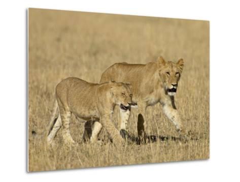 Lion Cubs, Masai Mara National Reserve, Kenya, East Africa, Africa-James Hager-Metal Print