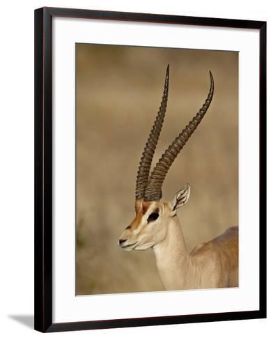 Male Grant's Gazelle, Samburu National Reserve, Kenya, East Africa, Africa-James Hager-Framed Art Print