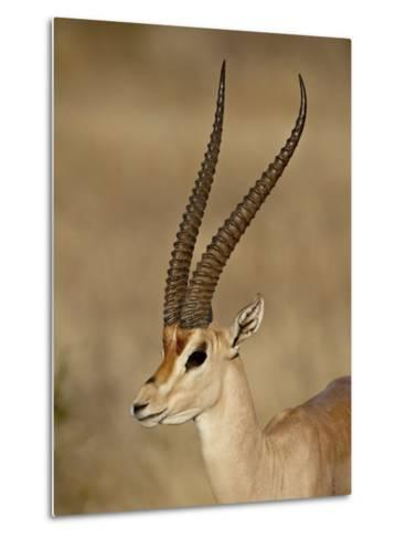 Male Grant's Gazelle, Samburu National Reserve, Kenya, East Africa, Africa-James Hager-Metal Print