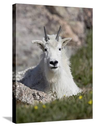 Mountain Goat, Mount Evans, Colorado-James Hager-Stretched Canvas Print