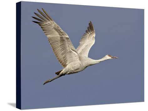 Sandhill Crane in Flight, Bosque Del Apache National Wildlife Refuge, New Mexico-James Hager-Stretched Canvas Print