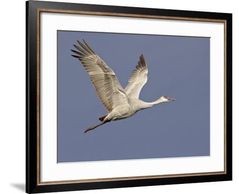 Sandhill Crane in Flight, Bosque Del Apache National Wildlife Refuge, New Mexico-James Hager-Framed Art Print