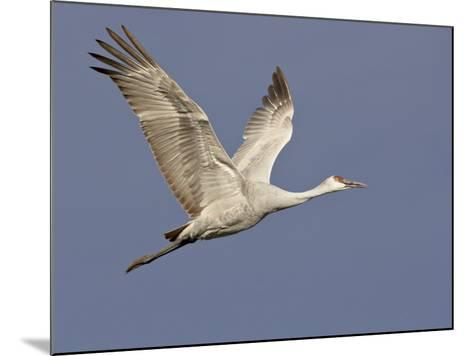 Sandhill Crane in Flight, Bosque Del Apache National Wildlife Refuge, New Mexico-James Hager-Mounted Photographic Print