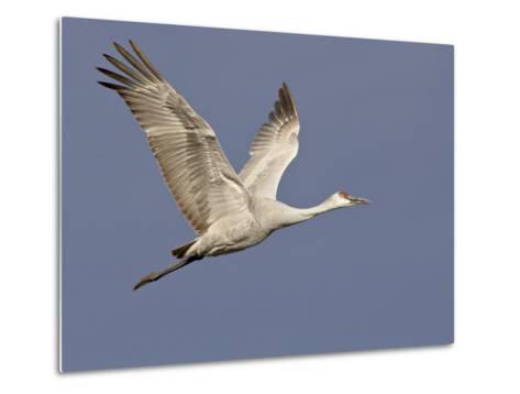 Sandhill Crane in Flight, Bosque Del Apache National Wildlife Refuge, New Mexico-James Hager-Metal Print