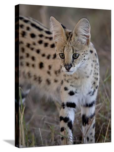Serval, Masai Mara National Reserve, Kenya, East Africa, Africa-James Hager-Stretched Canvas Print