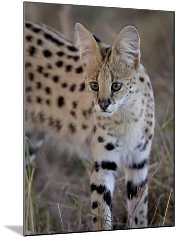 Serval, Masai Mara National Reserve, Kenya, East Africa, Africa-James Hager-Mounted Photographic Print