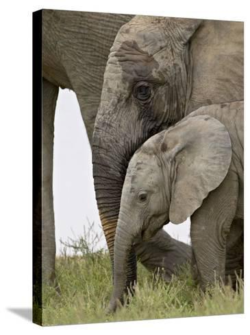 Baby and Young African Elephant, Addo Elephant National Park-James Hager-Stretched Canvas Print