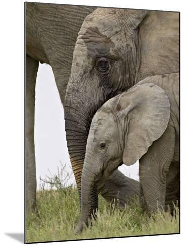 Baby and Young African Elephant, Addo Elephant National Park-James Hager-Mounted Photographic Print