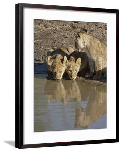 Three Lion Cubs Drinking, Masai Mara National Reserve, Kenya, East Africa, Africa-James Hager-Framed Art Print