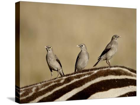 Three Wattled Starling on the Back of a Zebra, Masai Mara National Reserve-James Hager-Stretched Canvas Print