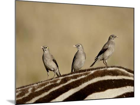 Three Wattled Starling on the Back of a Zebra, Masai Mara National Reserve-James Hager-Mounted Photographic Print