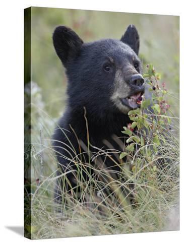 Black Bear Cub Eating Saskatoon Berries, Waterton Lakes National Park, Alberta-James Hager-Stretched Canvas Print