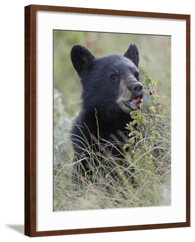 Black Bear Cub Eating Saskatoon Berries, Waterton Lakes National Park, Alberta-James Hager-Framed Art Print