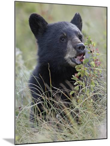 Black Bear Cub Eating Saskatoon Berries, Waterton Lakes National Park, Alberta-James Hager-Mounted Photographic Print