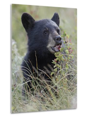 Black Bear Cub Eating Saskatoon Berries, Waterton Lakes National Park, Alberta-James Hager-Metal Print