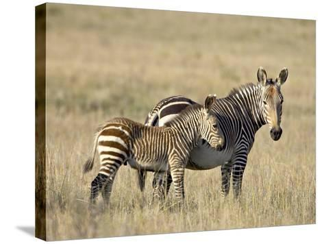 Cape Mountain Zebra Mother and Foal, Mountain Zebra National Park-James Hager-Stretched Canvas Print