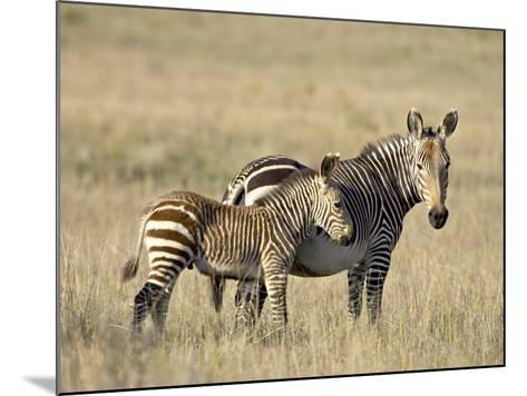 Cape Mountain Zebra Mother and Foal, Mountain Zebra National Park-James Hager-Mounted Photographic Print