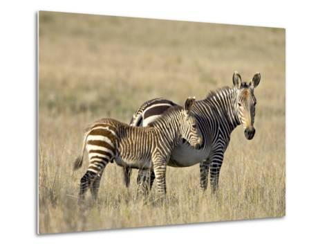 Cape Mountain Zebra Mother and Foal, Mountain Zebra National Park-James Hager-Metal Print
