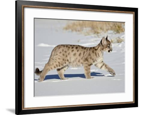 Captive Mountain Lion or Cougar Cub, Near Bozeman, Montana-James Hager-Framed Art Print