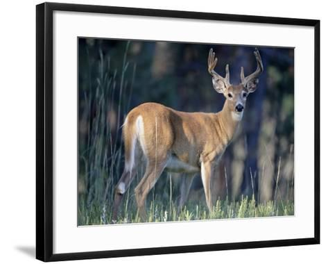 Whitetail Deer Buck in Velvet, Devil's Tower National Monument, Wyoming-James Hager-Framed Art Print