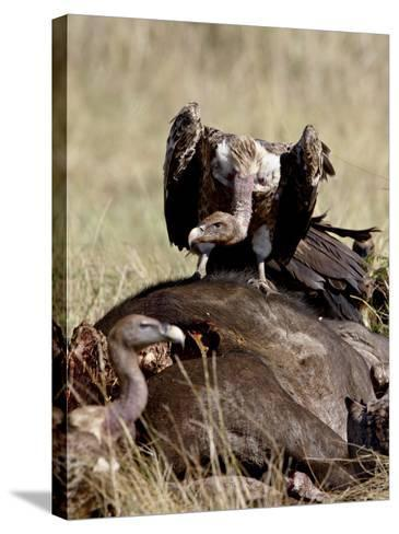 Ruppell's Griffon Vulture Atop a Cape Buffalo Carcass-James Hager-Stretched Canvas Print