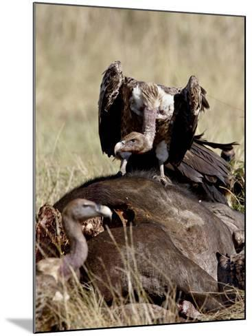 Ruppell's Griffon Vulture Atop a Cape Buffalo Carcass-James Hager-Mounted Photographic Print