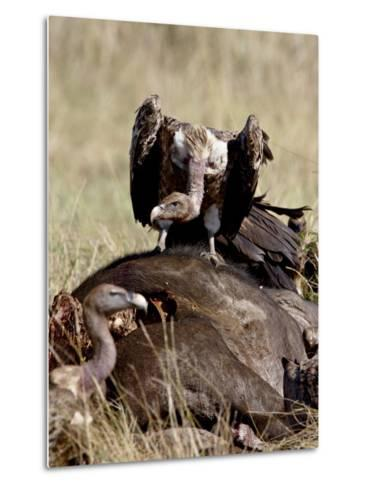 Ruppell's Griffon Vulture Atop a Cape Buffalo Carcass-James Hager-Metal Print
