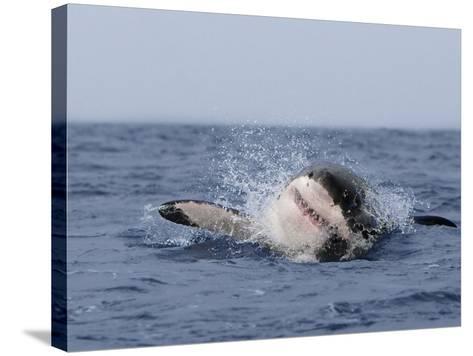 Great White Shark, Breaching, Seal Island, False Bay, Cape Town-Ann & Steve Toon-Stretched Canvas Print