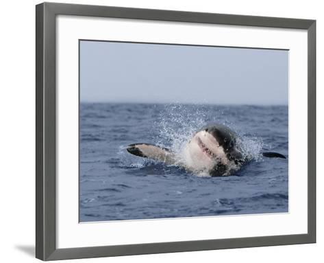 Great White Shark, Breaching, Seal Island, False Bay, Cape Town-Ann & Steve Toon-Framed Art Print