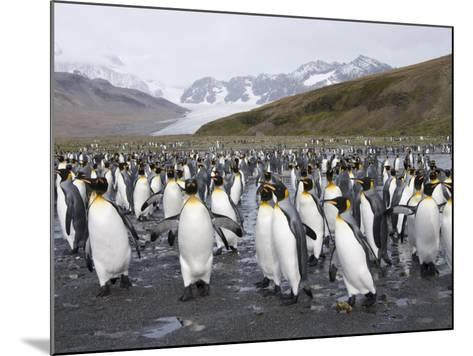 King Penguins, St. Andrews Bay, South Georgia, South Atlantic-Robert Harding-Mounted Photographic Print