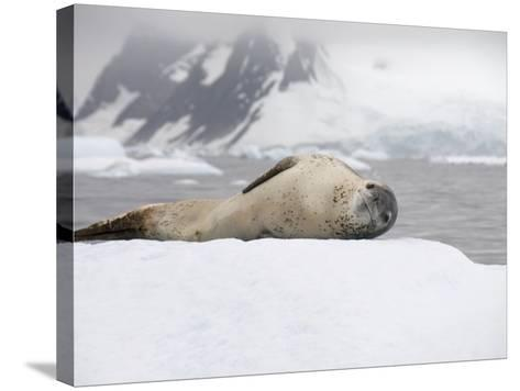 Leopard Seal on Ice, Near Yalour Island, Antarctic Peninsula, Antarctica, Polar Regions-Robert Harding-Stretched Canvas Print
