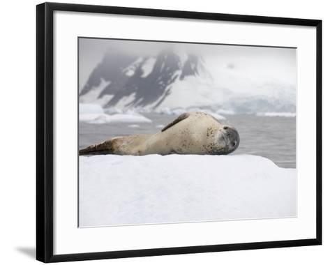 Leopard Seal on Ice, Near Yalour Island, Antarctic Peninsula, Antarctica, Polar Regions-Robert Harding-Framed Art Print