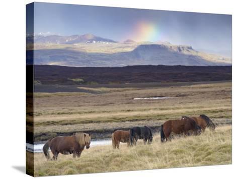Icelandic Horses Near Snorrastadir, Snow-Covered Peaks of Ljosufjoll and Rainbow Behind-Patrick Dieudonne-Stretched Canvas Print