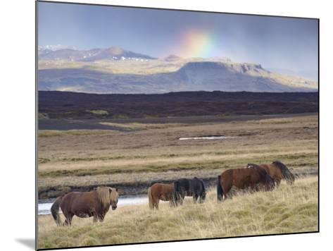 Icelandic Horses Near Snorrastadir, Snow-Covered Peaks of Ljosufjoll and Rainbow Behind-Patrick Dieudonne-Mounted Photographic Print