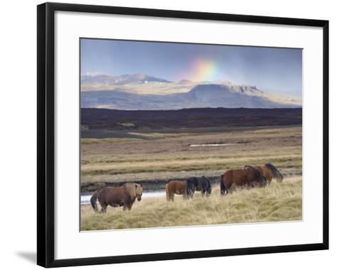 Icelandic Horses Near Snorrastadir, Snow-Covered Peaks of Ljosufjoll and Rainbow Behind-Patrick Dieudonne-Framed Art Print