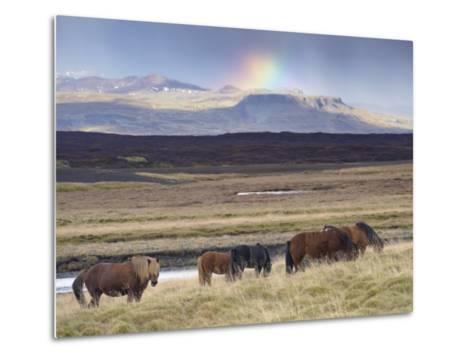 Icelandic Horses Near Snorrastadir, Snow-Covered Peaks of Ljosufjoll and Rainbow Behind-Patrick Dieudonne-Metal Print