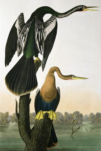 Black-Billed Darter, from 'Birds of America', engraved by Robert Havell-John James Audubon-Stretched Canvas Print